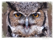 Great Horned Owl Photo Shirt - 7901