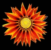 Gazania Photo Shirt-0064